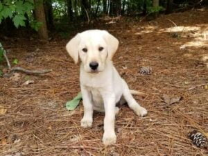 Yellow lab puppy at Happy Lab Kennels