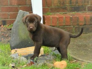 Chocolate lab puppy at Happy Labs Kennels