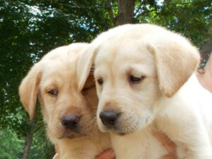 Yellow lab puppies at Happy Lab Kennels