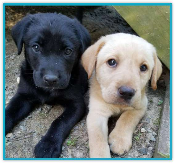 Black and yellow lab puppies at Happy Lab Kennels