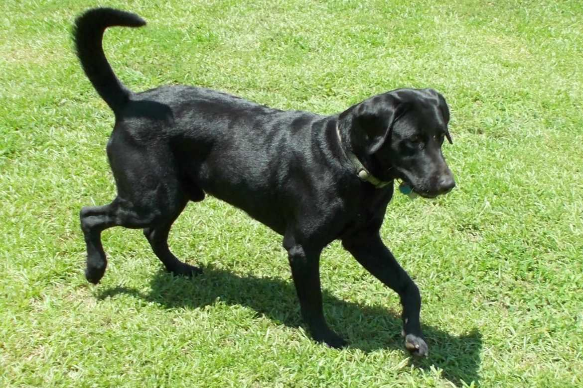 Willy, one of our black male breeder labs at Happy Lab Kennels