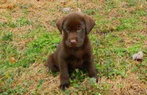 Chocolate lab puppy at Happy Lab Kennels