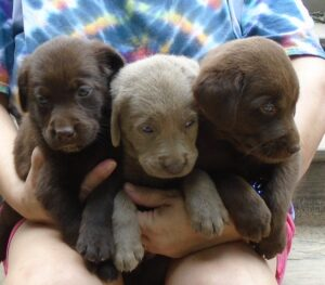 Chocolate and silver lab puppies at Happy Lab Kennels