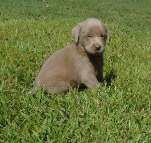 Silver lab puppy at Happy Lab Kennels