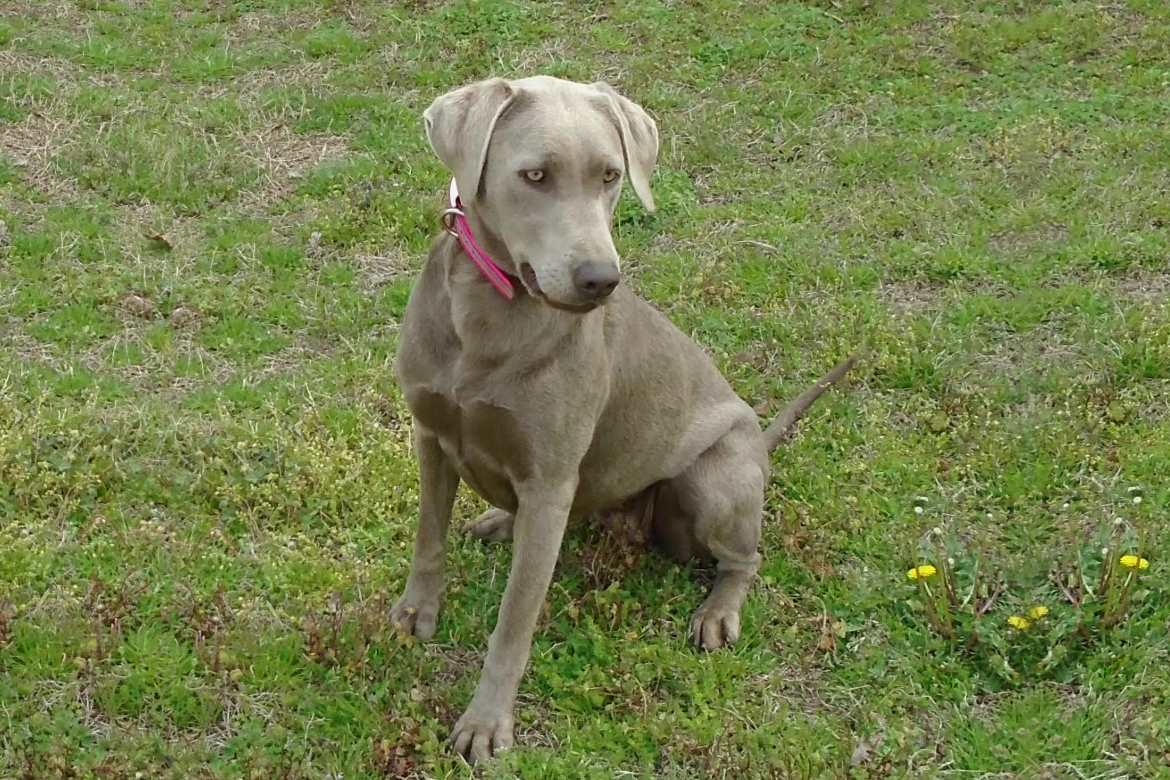 Honey, one of our breeder silver labs at Happy Lab Kennels