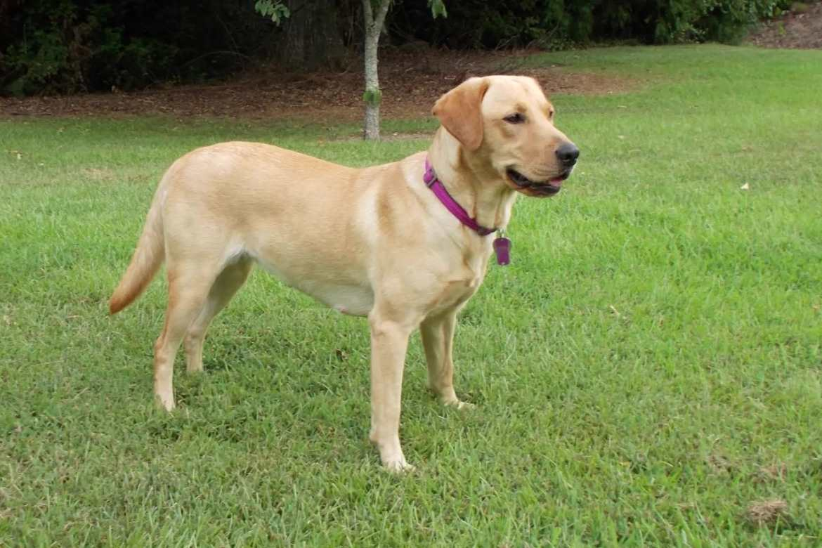 Letty, one of our breeder females at Happy Lab Kennels