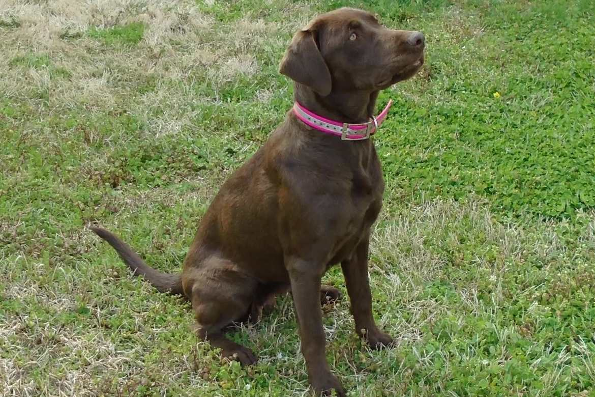Sugar, one of our female breeder labs at Happy Lab Kennels