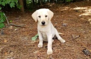 Puppy yellow lab at Happy Lab Kennels